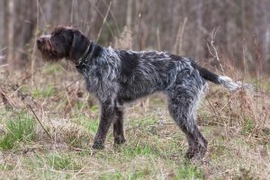 Wire-haired Pointers