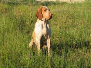 Italian (Bracch) Pointer